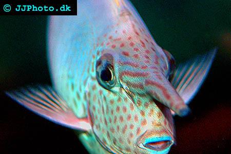 Naso annulatus, Whitemargin unicornfish picture