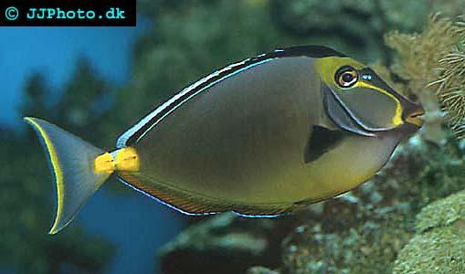 Orangespine unicornfish picture