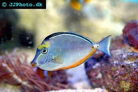 Naso lituratus, Orangespine unicornfish picture