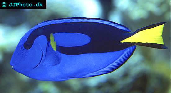 Palette surgeonfish Picture - Paracanthurus hepatus