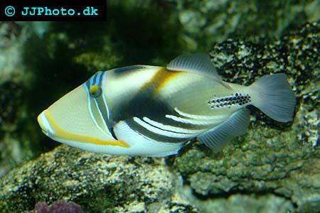 Rhinecanthus aculeatus, Blackbar triggerfish picture
