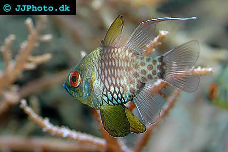 Sphaeramia nematoptera, Pajama cardinalfish picture