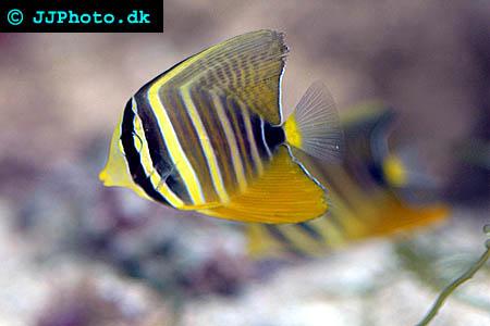 Juvenile Sailfin tang picture