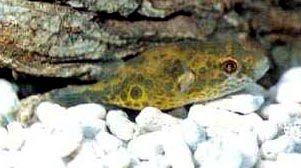 Ocellated Puffer Fish -  Tetraodon cutcutia