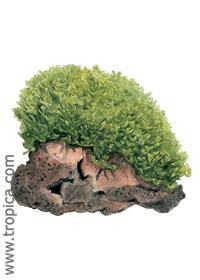 Monosolenium tenerum (''Pellia'')
