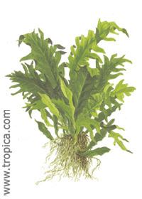 Microsorum pteropus 'Tropica'
