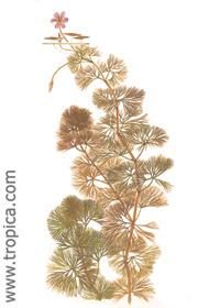 Cabomba furcáta (C. piauhyensis)