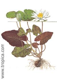 Nymphaea lotus (zenkeri)