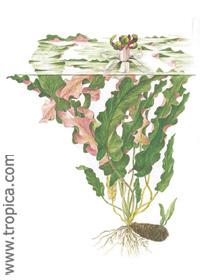 Barclaya longifolia