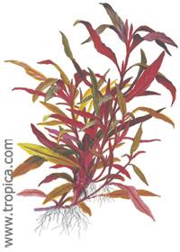 Alternanthera reineckii ''roseafolia''