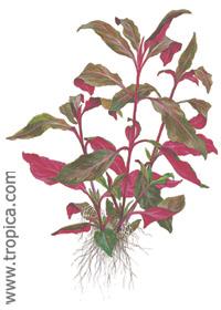 Alternanthera reineckii ''lilacina''