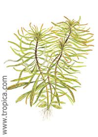 Ludwigia inclinata var. verticillata (''Cuba'')