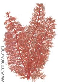 Myriophyllum tuberculatum (Red)