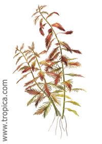 Proserpinaca palustris ''Cuba''