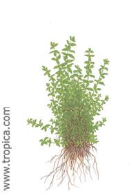 Hemianthus micranthemoides