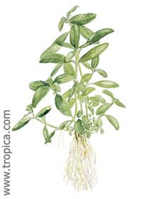 Hygrophila polysperma ''Big leaf''