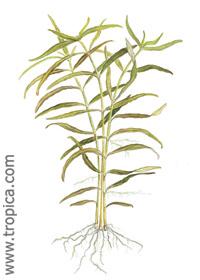 Hygrophila polysperma ''Ceylon''