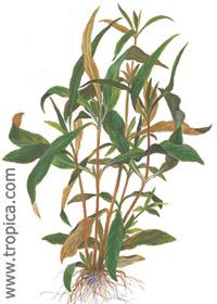 Hygrophila guianensis