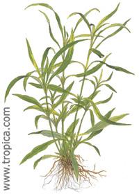 Hygrophila corymbosa ''angustifolia''