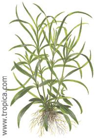 Hygrophila corymbosa ''Aroma''