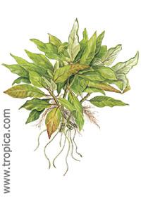Hygrophila corymbosa ''Compact''
