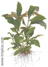 Hygrophila corymbosa ''Siamensis''
