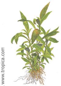 Hygrophila corymbosa ''Siamensis 53B''
