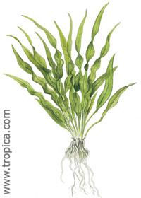 Echinodorus parviflorus (''peruensis'')