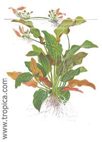 Echinodorus 'Oriental'