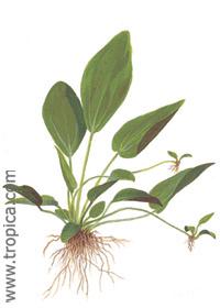 Echinodorus cordifolius ''ovalis''