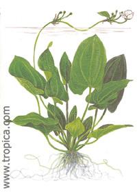 Echinodorus schlueteri