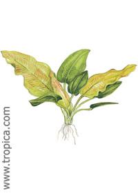 Echinodorus cordifolius ssp. fluitans