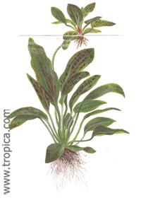 Echinodorus 'Ozelot' (Green)