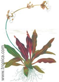 Echinodorus 'Rubin'