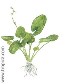 Echinodorus grandiflorus