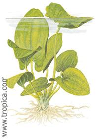 Echinodorus grandiflorus ssp. aureus