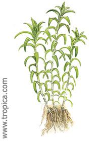 Tonina fluviatilis