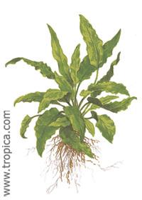 Cryptocoryne wendtii ''green''