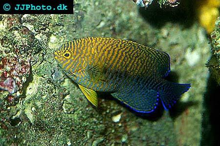 Potter 39 s angelfish centropyge potteri for Community saltwater fish