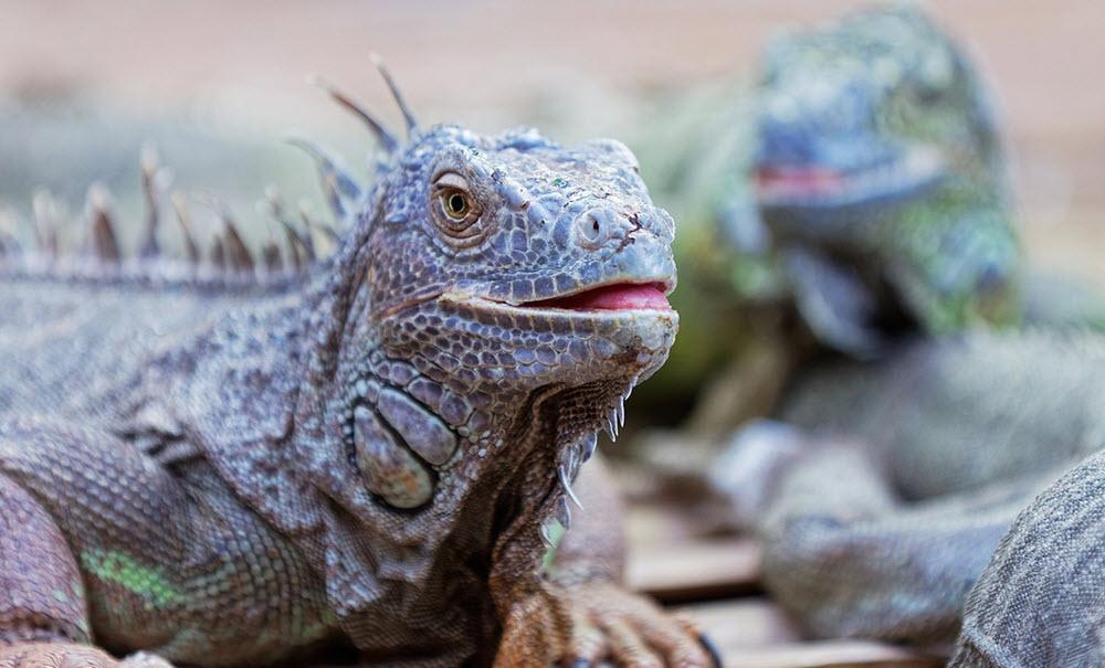 Aquarium du Perigord noir iguana