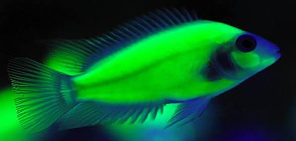Fluorescent Convict cichlid (Amatitlania nigrofasciata)