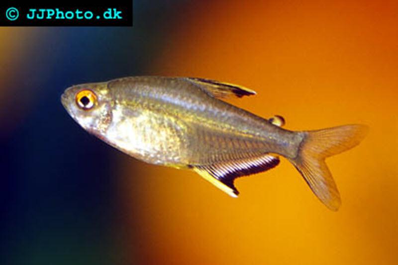 Lemon tetra - Hyphessobrycon pulchripinnis | Aquatic Community