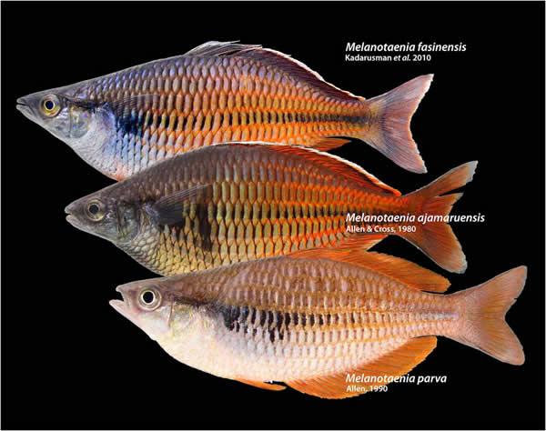 Melanotaenia fasinensis