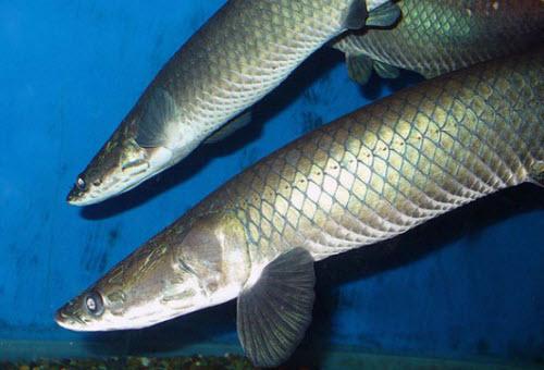 arapaima-leptosoma