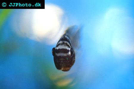 Aequidens pulcher
