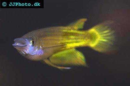 Aplocheilus lineatus hane
