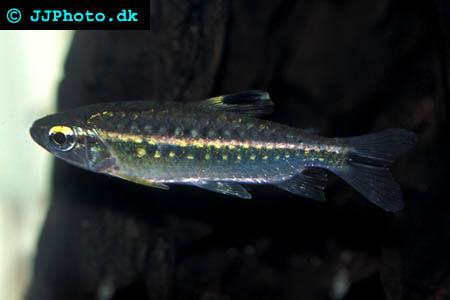 Arnoldichthys spilopterus - Arnold's rödögon tetra hona