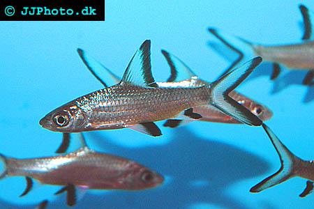 Balantiocheilos melanopterus -