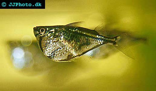 Marmorbilbuksfisk