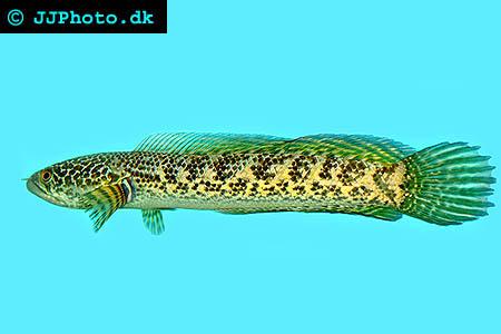 Orangefläckig Ormhuvudsfisk
